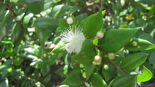 NOVIEMBRE 2020  Destil.lació de murtra (Myrtus communis). Usos medicinals i culinaris de la murtra