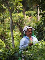 Febrer  Març 2018  Sri Lanka. L'illa del te, de les espècies i de les nimfes