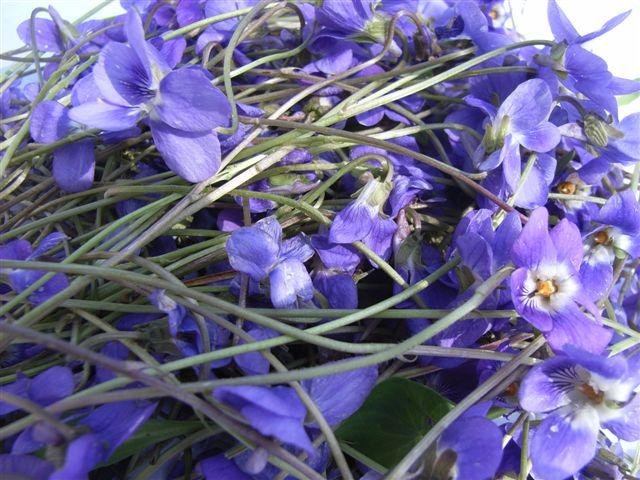 MARÇ 2019  La violeta: usos medicinals, culinaris i decoratius